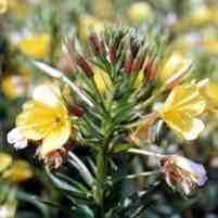 Advice available from Peter Lapinskas on evening primrose (Oenothera spp.) agronomy, breeding and production